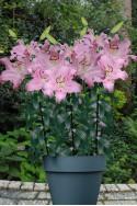 lily bulb Josephine