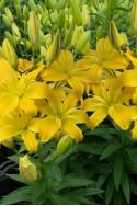 lily bulb Kensington