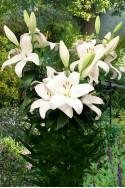 lily bulb Kent