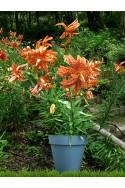 lily bulb Lancifolium Flore Pleno