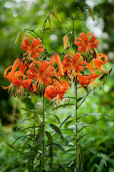 lily bulb Lancifolium Splendens