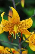 lily bulb Leichtlinii