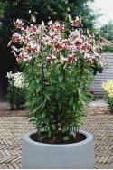 lily bulb Leslie Woodriff
