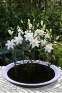 lily bulb Lotus Beauty