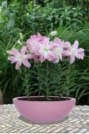 lily bulb Lotus Elegance