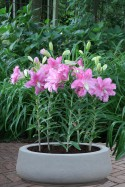 lily bulb Lotus Joy