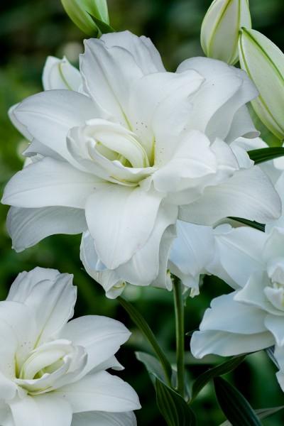 Lotus Pure 5 lilly bulbs
