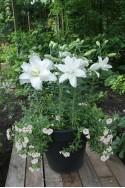 lily bulb Lotus Pure