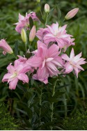 lily bulb Lotus Spring