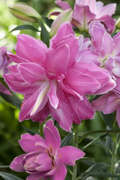 Lotus Wonder 5 lilly bulbs