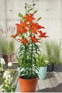 lily bulb Mandarin Star