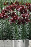 lily bulb Mapira