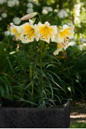 lily bulb Miss Peculiar
