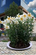 lily bulb Mister Cas