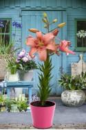 lily bulb Morpho Pink