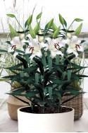 lily bulb Mount Aspiring
