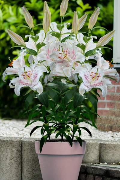 Muscadet 5 lilly bulbs