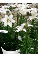 lily bulb Navona