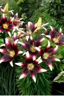 lily bulb Nettys Pride