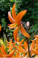 lily bulb Orange Marmalade