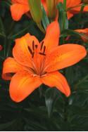 lily bulb Orange Pixie