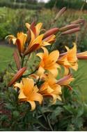 lily bulb Orange Planet