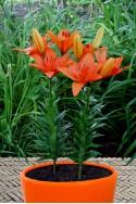 lily bulb Orange Summer