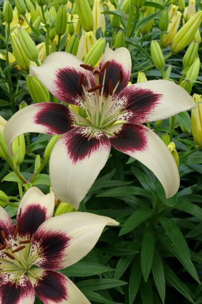 lily bulb Patricias Pride