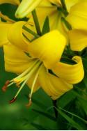 lily bulb Pearl Melanie