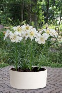 lily bulb Pearl White