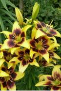 lily bulb Pieton