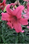 lily bulb Pink Flight