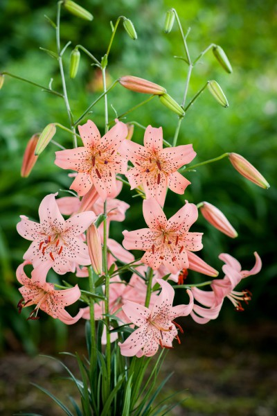 lily bulb Pink Giant