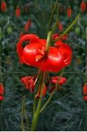 lily bulb Pumilum (Tenuifolium)