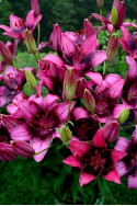 lily bulb Purple Dream