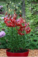 lily bulb Red Velvet
