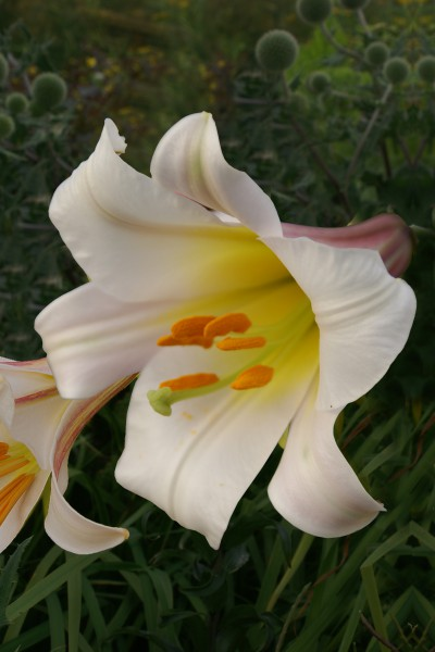 Regale 5 lilly bulbs