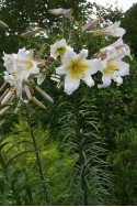 lily bulb Regale