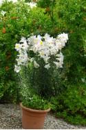 lily bulb Regale Album