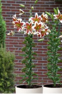 lily bulb Scheherazade
