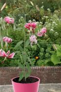 lily bulb Spec. Var. Rubrum Uchida