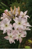 lily bulb Spring Pink