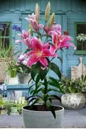 lily bulb Star Gazer
