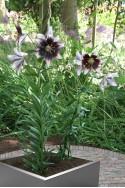 lily bulb Stracciatella Event