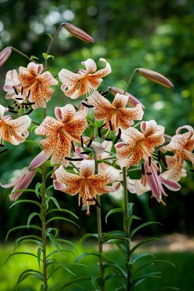 lily bulb Tiger Babies