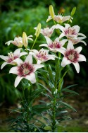 lily bulb Tribal Kiss