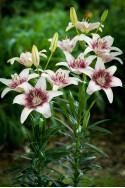 lily bulb Tribal Kiss