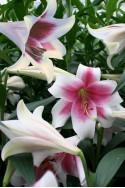 lily bulb Triumphator
