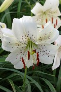 lily bulb White Twinkle