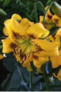 lily bulb Yellow Bruse
